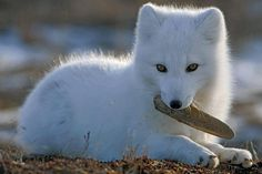 THE ARTIC FOX Vulpes lagopus, IS in danger OF extinction for climate change , deforestation and hunting for him wonderful fur.the signatures on petition) Baby Arctic Fox, Arctic Wolf, Fox Baby, Cute Baby Animals, Animals And Pets, Wild Animals, Fox Images, Fox Pictures, African Wild Dog
