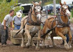 Image result for heavy harness horses