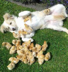 Imagem de amizade entre cão e pintinhos faz sucesso na web