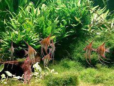 Conservatory pond | Nature aquarium by Takashi Amano. Altum angel fish (pterophyllum altum).