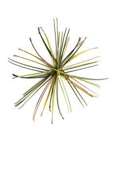 winter-red-pine-needles