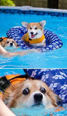 More About Playfull Pembroke Welsh Corgi Puppy Size corgi funny Corgi Funny, Cute Corgi Puppy, Corgi Dog, Funny Dogs, Cute Puppies, Cute Dogs, Corgi Meme, Teacup Puppies, Lab Puppies
