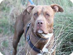 Austin, TX - Pit Bull Terrier Mix. Meet *ELMER, a dog for adoption. http://www.adoptapet.com/pet/11931677-austin-texas-pit-bull-terrier-mix