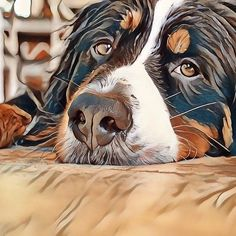 Dog Tired - Bernese Mountain Dog #BerneseMountainDog