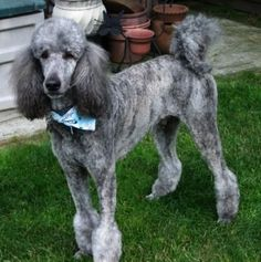 Poodle The Adorable Dog - The Pooch Online Poodle Haircut, Poodle Hairstyles, I Love Dogs, Cute Dogs, Poodle Grooming, Pet Grooming, Poodle Cuts, Dog Grooming Business, Standard Poodles