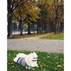 銀杏の木の下でひとやすみ( ˘ω˘ ∪) #ペキニーズ #Pekingese #pekistagram #pet #犬 #dog #ワンコ #愛犬 #photo #犬ばか部 #かわいい #cute #pretty #鼻ぺちゃ #白ペキ #短足部 #ふわもこ部 #ポン助 #ツンデレ #家族 #family #love #lovedogs #幸せ #もふもふ #すぐ休憩 #紅葉