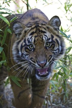 Tiger cub snarl by Official San Diego Zoo