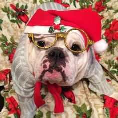 Those glasses (and those eyes!) are worth gold. | 25 Bulldogs Who Had A Better Ugly Sweater Party Than You Did