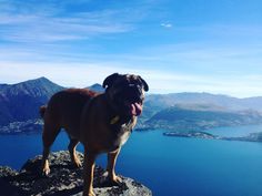 Pug on top of the world. #pug #hound #pugsofinstagram #dog #dogoftheday #puppy #instagood #dogs_of_instagram #pet #pets #animal #animals #petstagram #petsagram #dogsitting #photooftheday #dogsofinstagram #ilovemydog #instagramdogs #nature #dogstagram #dogoftheday #lovedogs #lovepuppies #hound #adorable #instapuppy #instadog