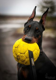 Doberman puppy... bro, you play footy?... not anymore!