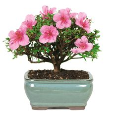 great mother's day gift Satsuki Azalea