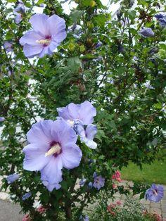 230 plantas medicinales más efectivas y sus usos Malvavisco Planta