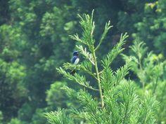 オオルリ. Blue-and-White Flycatcher. 19 June 2017.
