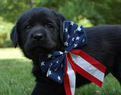 Tie a patriotic bow and an engagement ring to a black lab.. my perfect proposal :) especially on 4th of July!