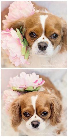 Pretty Pup!  A King Charles Cavalier Spaniel.  Photo by: Michele Kovack