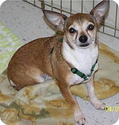 Spanaway, WA - Chihuahua Mix. Meet Bailey a Dog for Adoption.