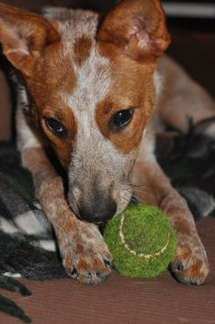 Kali (6months old) Red Heeler. Australian Cattle dog. ACD