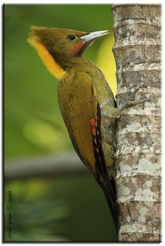 Yellow Naped Woodpecker | Flickr - Photo Sharing!
