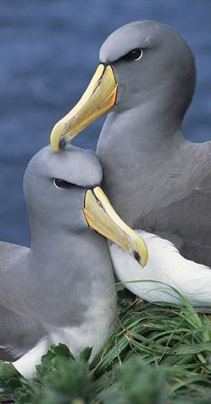 Chatham Albatross Breeds solely on a small, precipitous rock in the Chatham Islands, to the east of New Zealand