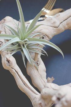 drift wood and air plants