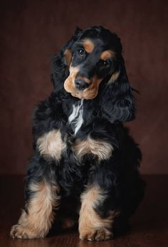 15 trendy ideas for dogs photography cocker spaniel English Cocker Spaniel Puppies, American Cocker Spaniel, Cockerspaniel, Dog Photography, Dog Pictures, Dogs And Puppies, Doggies, Cute Dogs, Your Dog