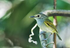 Rusty-fronted_Tody-Flycatcher (Poecilotriccus latirostris) by Nick Athanas.
