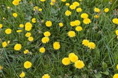If dandelions were considered a welcomed flower, I'd be rich. It's the only plant I can't manage to kill. And they're peppering my yard like they're at