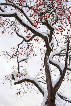 persimmon tree in winter Winter Flowers, Winter Trees, Flowers Nature, Winter Images, Winter Photos, Nature Pictures, Beautiful Pictures, Good Morning Cards, Fruits Drawing