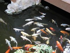 How To Properly Move Your Koi From One Place To Another…Transporting and handling your Koi fish with care.It is a responsibility for all fish owners to know exactly what to do if your fish gets sick and seeks medical attention from a veterinary. How will you take your fish from home to a vet's office? Other reasons could be due to repairs to your pond, moving house or impending bad weather...(read more at the above link)