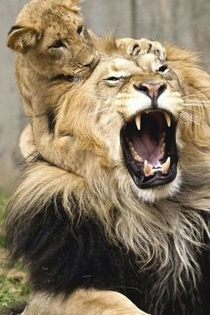 Löwe mit Jungen ...