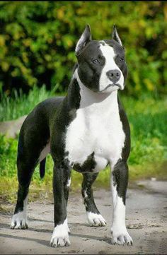 The American Staffordshire Terriers are easily one of my favorite breeds.