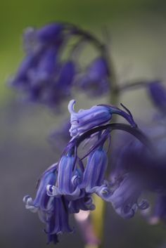 Bluebells, soft and pretty.