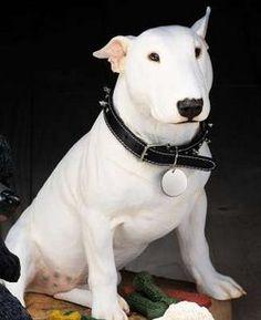 Bull Terrier <3