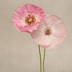 "Poppy Art, Fine Art Flower Photography Print ""Pink Poppies No. 7"" from Rocky Top Studio"