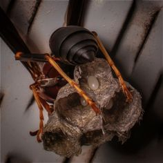 #wasp #insect #bug #stinger #nest #eggs #hive #bee #hornet #macro #vanstry #springfield #springfield, MO #photography