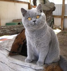 "The British Shorthair is the pedigreed version of the traditional British domestic cat, with a distinctively chunky body, dense coat and broad face. The most familiar color variant is the ""British Blue"", a solid blue-gray with copper eyes, medium tail, but the breed has also been developed in a wide range of other colours and patterns, including tabby and colorpoint."