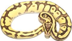 Male Lucifer Pastel Enchi Possible Het Pied Ball Python by NERD