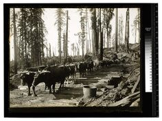 Among the Redwoods in California [Ox team - First stage of logging #4/unknown] Date: Unknown Ericson Photograph Collection, Region 04 Arcata to Blue Lake to Korbel Contributing Institution: Humboldt State University Library