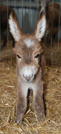 Donkey & Mule Society of New Zealand.  Mini Donkey foal!