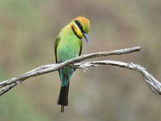 Rainbow Bee-eater - Tharwa Sandwash, Gigerline Nature Reserve, NSW Beautiful Birds, Beautiful People, Bee Eater, Australian Birds, Small Birds, Nature Reserve, Bird Watching, Parrot, Rainbow