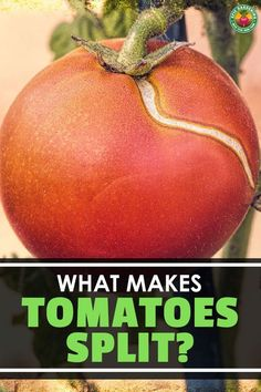 Why do tomatoes split or crack? It's not a pest or disease issue, but you do need to fix it. We explain how to do that in our thorough guide!