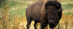 Buffalo facts and information