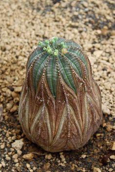 Photo of Baseball Plant (Euphorbia obesa) uploaded by RuuddeBlock