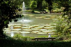 Giant Lotus Pond at Botanical Garden, Bogor - West Java Beautiful Roads, Beautiful Gardens, Outdoor Gardens, Indoor Outdoor, Lotus Pond, Lily Pond, Public Garden, Garden Pictures, Thing 1