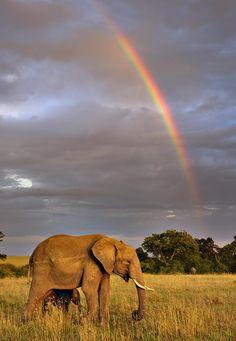 African Elephant (Loxodonta africana) Masai Mara, Kenya