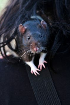 Manson by Noashine, via Flickr, rat.....can you imagine naming such a cute rat  such a horrible name ?