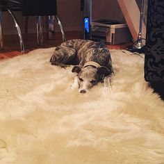 Exhausted after a long day  #dog #dogs #puppy #pup #cute #instagood #dogs_of_instagram #pet #pets #petsagram #handsomedog #photooftheday #dogsofinstagram #ilovemydog #instagramdogs #nature #dogstagram #dogoftheday #lovedogs #lovepuppies #hound #