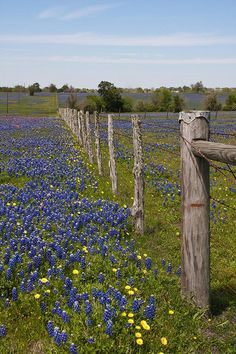 Bluebonnet fields of the Lone Star state (Texas)