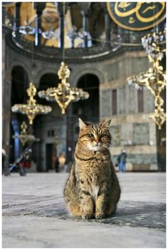 Istanbul : Hagia Sophia and the long-time resident ! I Love Cats, Big Cats, Cats And Kittens, Cute Cats, Funny Cats, Animals And Pets, Cute Animals, Hagia Sophia, All About Cats