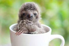 cute-baby-sloth-institute-costa-rica-sam-trull-15